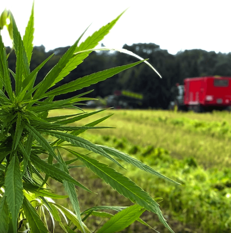 hemp plant in foreground machinery in background